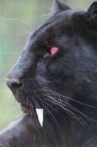 VampirePanther