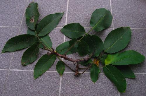 Nut branch